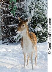Cute deer in winter (The Netherlands Elswout Overveen)