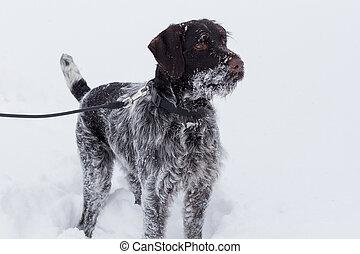 Cute deutsch drahthaar is standing on a white snow. Pet animals. Purebred dog.