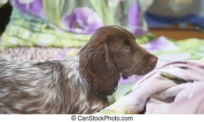 cute dog at home, comfortable, close-up lying in bed - cute...