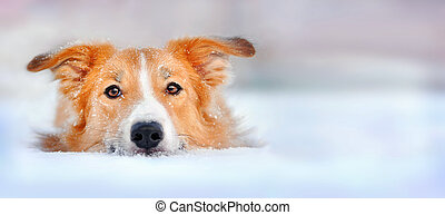 Cute red dog border collie lying in the snow, portrait