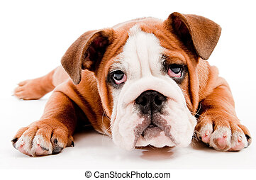 Cute dog - english Bulldog puppy on isolated background