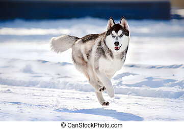 cute dog hasky running in winter - cute funny dog hasky ...