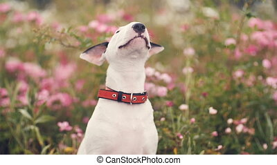 Cute Dog in flowers - white bull terrier puppy sitting in...