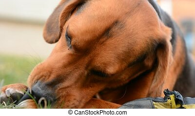 Cute dog is playing with toy. - Cute young brown dog is...