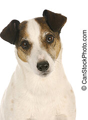 cute dog - jack russel terrier head portrait on white background