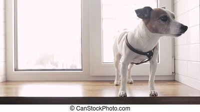 Cute dog jack russell terrier standing on window