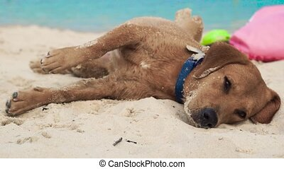 Cute dog lying on sand on sea beach. Funny dog sleeping and...