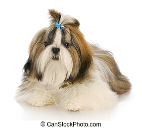 cute dog - shih tzu puppy wearing blue bow laying down with...