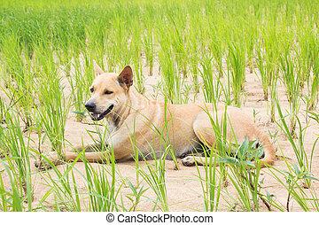 Cute Dog Sitting On Rice Field