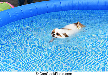 Swimming chihuahua portrait of a cute purebred chihuahua who swimming for How to train your dog to swim in the pool