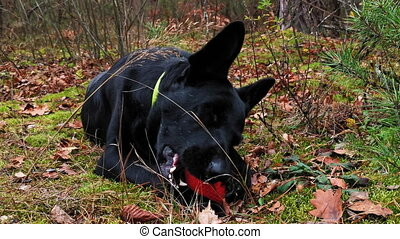 Cute dog trying to chew the ball in park during walk. Owner walking out her dog in the autumn forest. Autumn walk of friends. Prores 422.