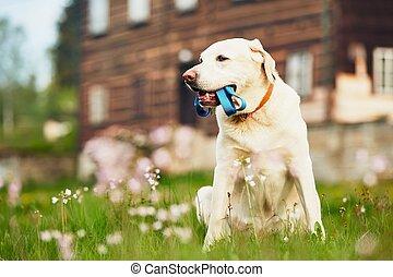 Cute dog waiting for walk - Cute dog (labrador retriever)...