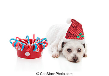 Cute dog with Christmas treats - A cute white dog with a...