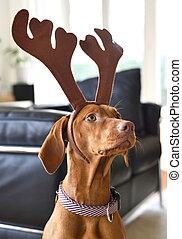 cute dog with reindeer antlers. Viszla on christmas.