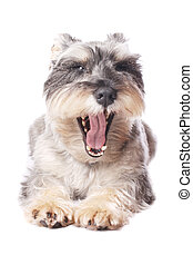 Cute dog yawning
