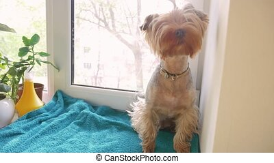 cute dog yorkshire terrier sits on the window. concept...