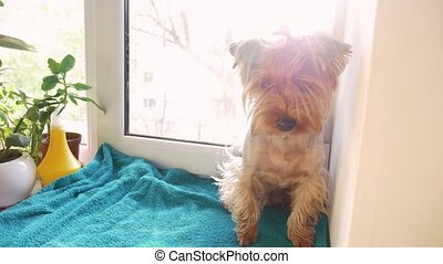 cute dog yorkshire terrier sits on the window. concept pet...
