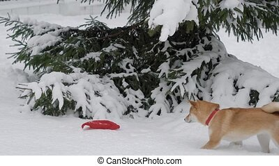 Cute doggy is runnig for its toy in winter. - Lovely shiba...