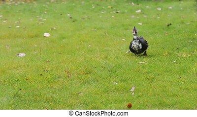 Cute domestic gosling or duck walking in green grass - Duck...