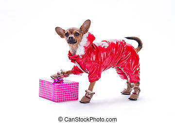 Cute dressed chihuahua with gift box.