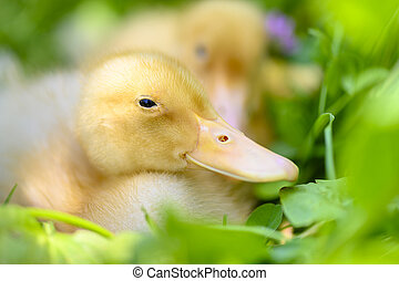 Cute Duckling Relaxing