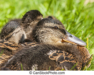 Cute ducklings on the grass