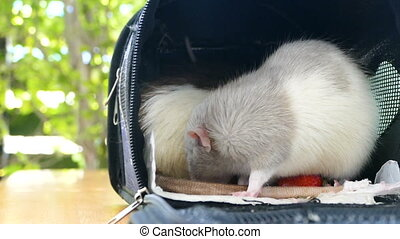 Cute dumbo rat eat strawberry