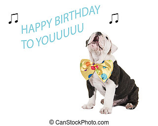 Cute english bulldog puppy sitting and singing happy birthday to you isolated on a white background