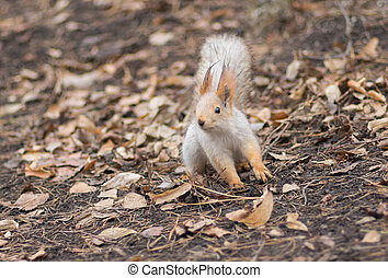 Eurasian red squirrel in search of nuts on the ground at fall season