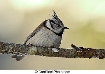 cute european crested tit in the garden