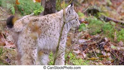 Cute european lynx cub cat in the woods - One european lynx...
