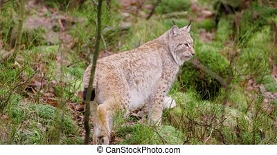 Cute european lynx cub walks in the woods