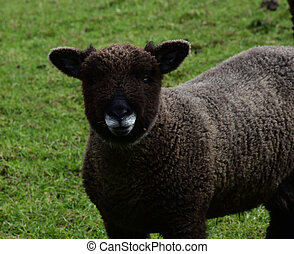 Cute Faced Brown Sheep in a Field in Northern England