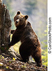 Cute female adult brown bear standing in upright position on rear legs by tree.