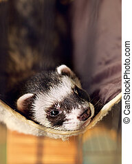 ferret lying on its hammock
