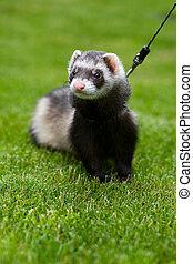 Cute ferret on a leash - Pet - ferret outdoor on grass