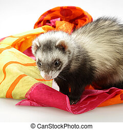 Cute ferret on color fabrics