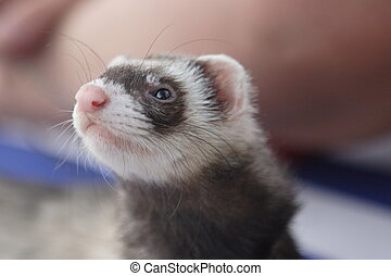 Cute ferret on the beach