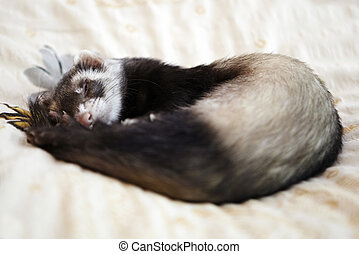 Cute ferret on the bed