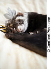 Cute ferret sleaping