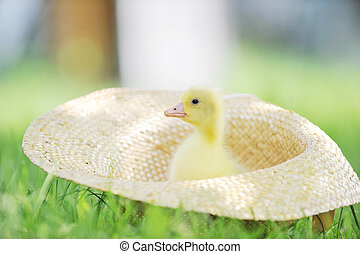 fluffy duckling - cute fluffy duckling sitting in straw hat...