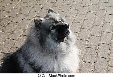 Keeshond dog portrait