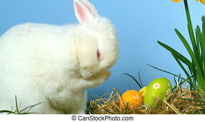 Cute fluffy rabbit scratching its nose with little easter eggs in front of him in slow motion