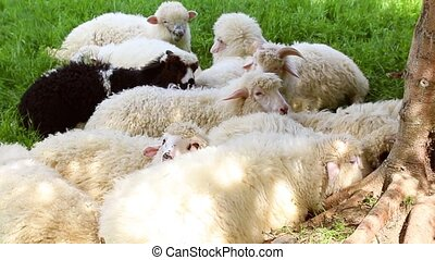 Cute fluffy sheep graze in the meadow on a sunny day. Herd...
