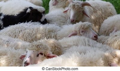 Cute fluffy sheep graze in the meadow on a sunny day. large...