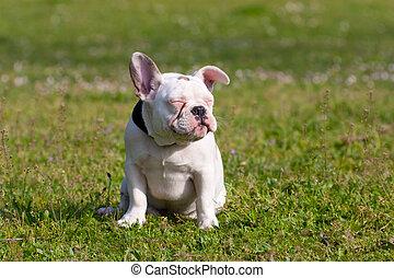 Cute French Bulldog Puppy Relaxing