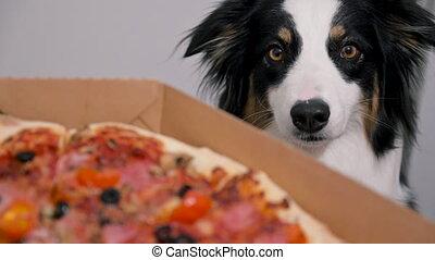 Dog and big pizza - Cute funny Australian Shepherd Dog and ...