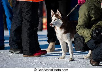 cute funny dog hasky running in winter