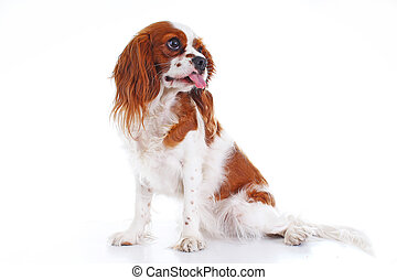Cute funny dog photo. Cavalier king charles spaniel puppy dog on isolated white studio background. Funny puppy.