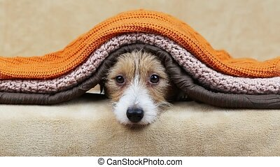 Cute funny happy jack russell terrier pet dog puppy looking from blankets